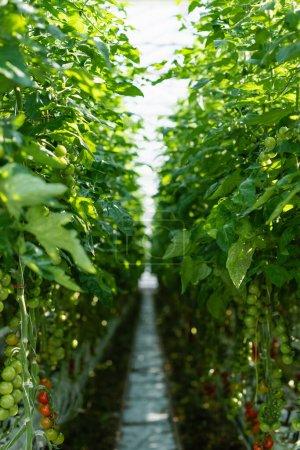 Photo pour Rangées de plants de tomates vertes en serre sur fond flou - image libre de droit