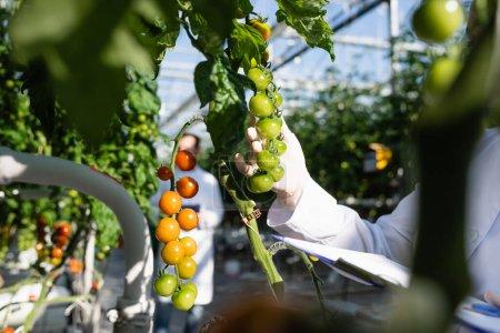 Photo pour Vue cultivée du technologue agricole près des branches de tomates cerises en serre - image libre de droit