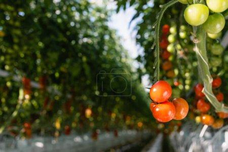 Photo pour Vue rapprochée des tomates cerises vertes et rouges en serre sur fond flou - image libre de droit