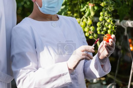 cropped view of quality inspector in medical mask making test of tomato in greenhouse