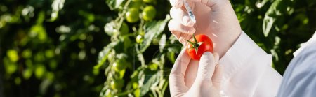 cropped view of quality inspector with tomato and syringe in greenhouse, banner