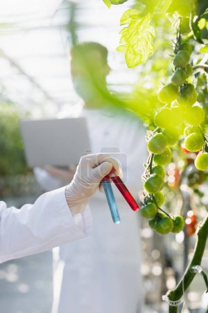 zugeschnittene Ansicht eines Qualitätsprüfers, der Reagenzgläser in der Nähe von Tomatenpflanzen auf verschwommenem Vordergrund hält