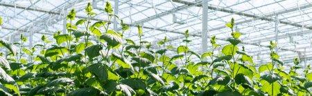 plantas de pepino verde creciendo en invernadero, bandera