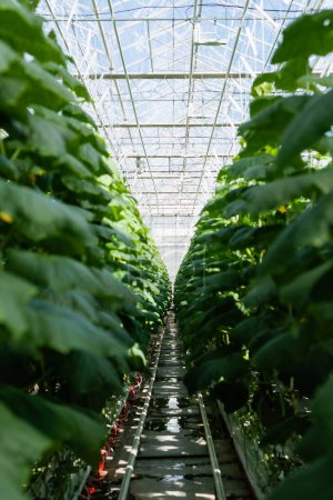 Photo for Cucumber plants growing in hydroponics in glasshouse, blurred foreground - Royalty Free Image