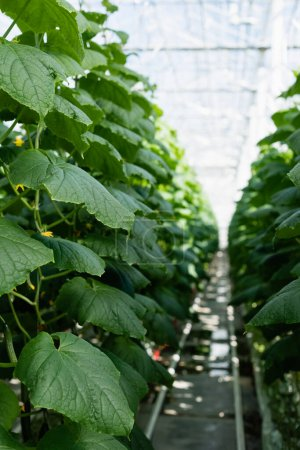 green cucumber plants in glasshouse, blurred background