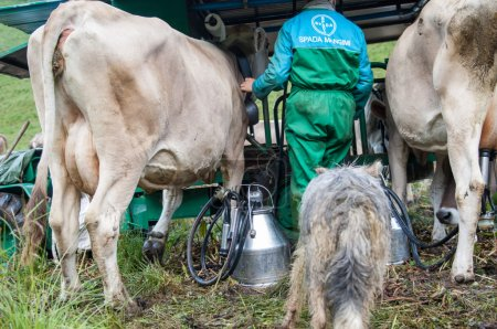 A man takes milk from cows