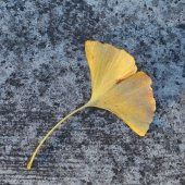 Yellow leaf falling on concrete floor