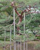 Big green bonsai tree