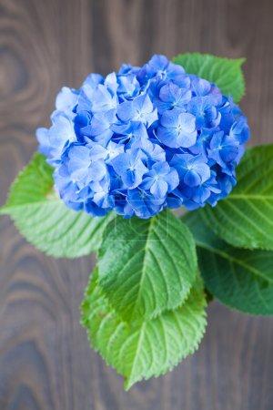 Foto de Flor de macrophylla de Hydrangea azul en mesa de madera - Imagen libre de derechos