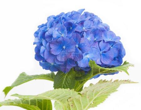Foto de Azul Hortensia macrophylla flor aislada sobre fondo blanco - Imagen libre de derechos