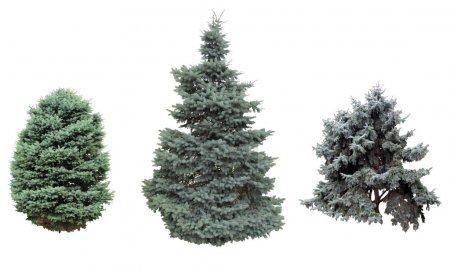 Spruce isolated on white background. Image can be ...