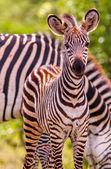 Divoké africké dítě Zebra