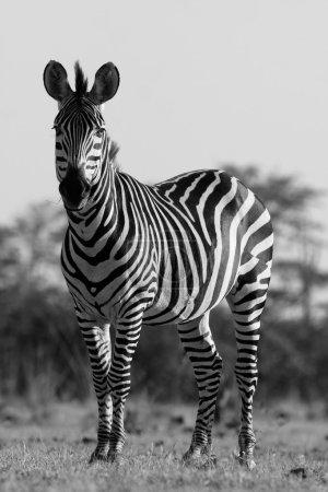 Wild African zebra in black and white
