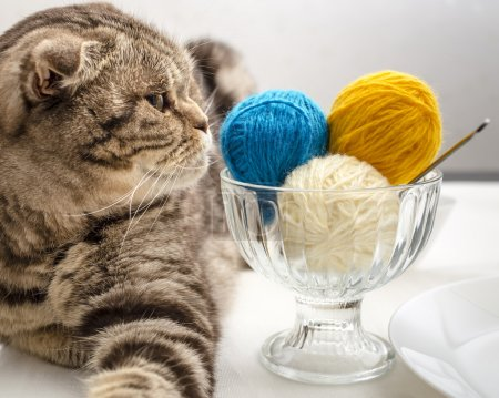 funny cat look and wants to play with a ball of wool yarn, which lie like dessert