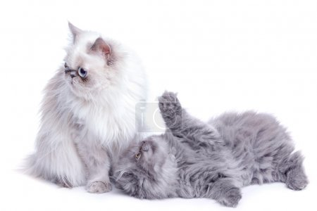 Mother cat and her cute kitten on white background...