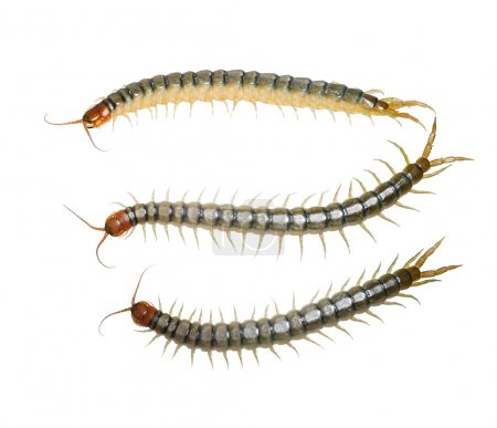 Centipedes isolated on white with clipping path...