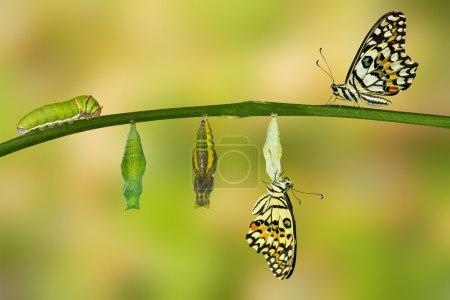 Photo pour Transformation isolée du papillon vert (papilio demoleus)  ) - image libre de droit