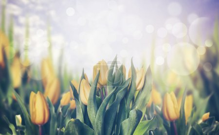 Photo for Spring tulips blooming, toned, banner - Royalty Free Image