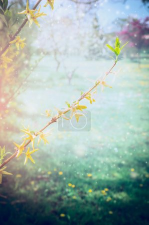 Forsythia blossoming branch