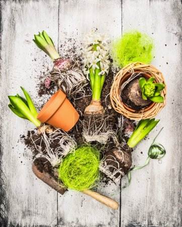 Bulbs and buds hyacinth garden shovel and flower pots on withe gray wooden background, spring gardening