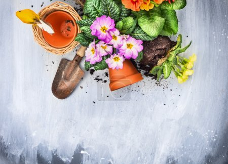 Spring flowers potting with garden tools, pots and soil, on gray wooden table , top view,