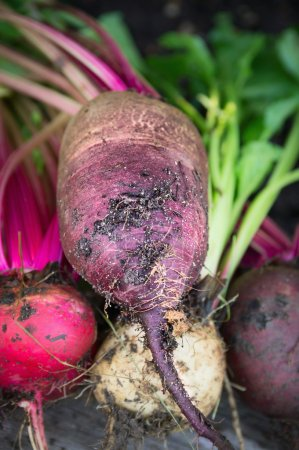 Red beets multicolor various