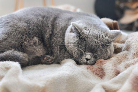 Photo pour Beau chat pur-sang avec race Blue British Shorthair, 2,5 ans - image libre de droit