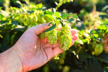 Old mans hand and green hops