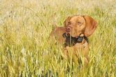 Hunting dog in the ripening grain. Hot summer day. Hungarian Pointer Viszla hunting. Electric dog collar.