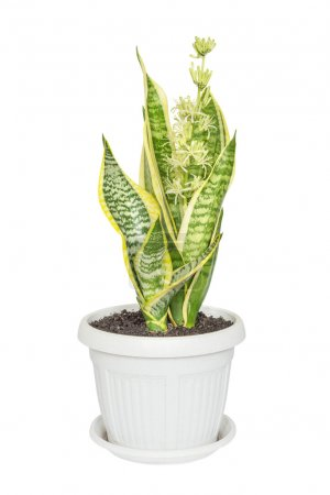 Blooming Sansevieria on a white background