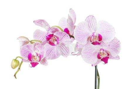 Photo pour Branche avec fleurs d'orchidée blanche et rose phalaenopsis, isolé sur un fond blanc - image libre de droit