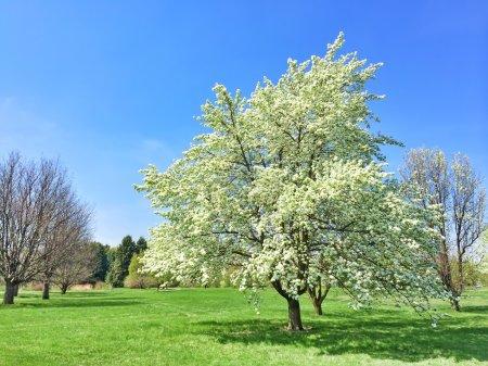Foto de Árbol blanco floreciente en jardín de primavera. Quebec, Canadá. - Imagen libre de derechos