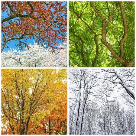 Photo pour Quatre saisons. Arbres au printemps, été, automne et hiver. Collage de 4 photos . - image libre de droit