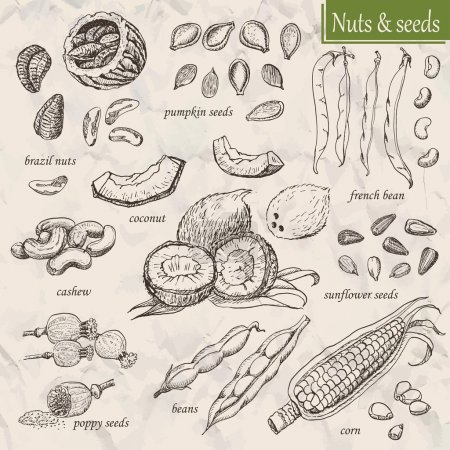 Illustration for Collection of nuts and seeds. Vector  illustration for your design - Royalty Free Image