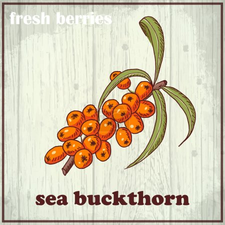 Hand drawing illustration of sea buckthorn. Fresh berries sketch background