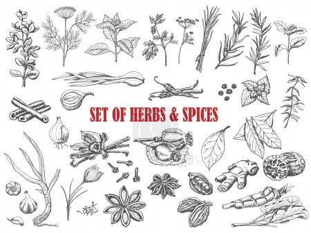 Set of Herbs and spices in sketch style. Vector il...