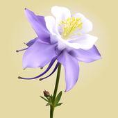 Aquilegia purple-white
