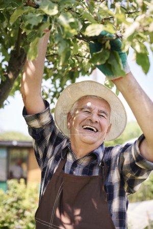senior man working in orchard