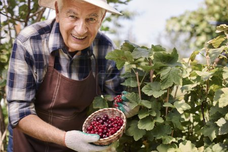 elderly man with currant berries