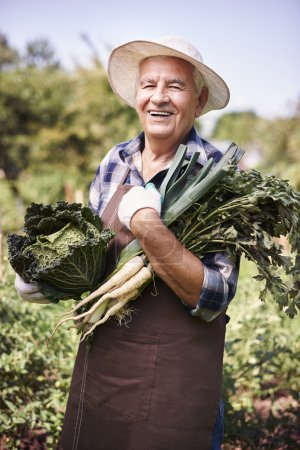 Photo for Elderly man harvesting crops in vegetable garden - Royalty Free Image