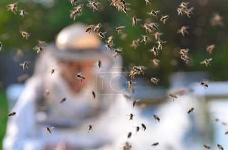 Senior apiarist and swarm of bees in apiary