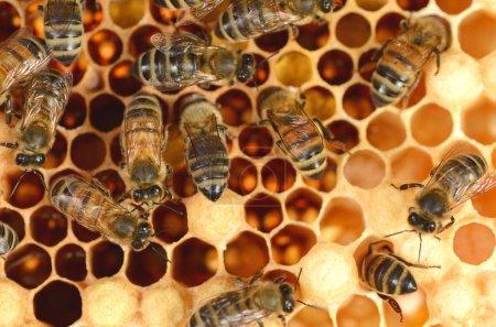 closeup of hardworking bees on honeycomb