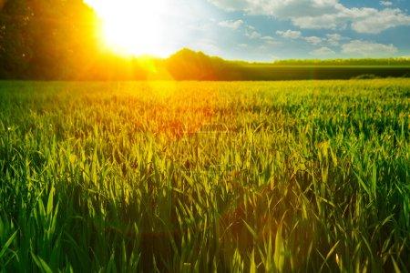 Dawn on wheat field