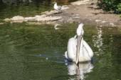 Pelikán s dlouhým zobákem plave na vodě vpřed