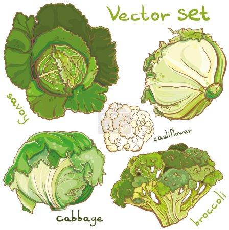 Illustration pour Illustration vectorielle colorée de choux frais lumineux, brocoli, chou-fleur, sarriette. Eps 10. Isolé . - image libre de droit