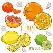 Vector set with citrus fruits