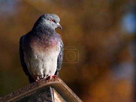 Photo pour Pigeon s'asseyant sur l'abri en bois - image libre de droit