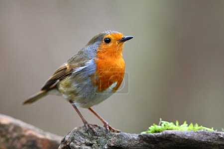 Photo pour Robin des bois sur branche sur fond flou - image libre de droit