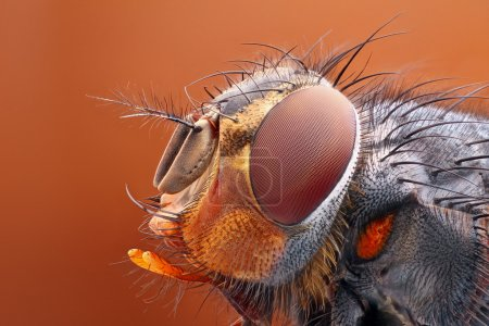 Detailed Fly head