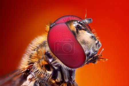 Photo for Very sharp and detailed study of Hoverfly head stacked from many images into one very sharp photo. - Royalty Free Image